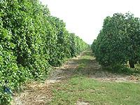 グレープフルーツの畑