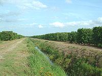 グレープフルーツの畑-1