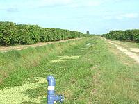 グレープフルーツの畑-2