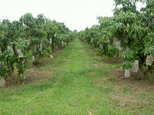 タイのマンゴー畑