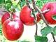 柳沢さんの紅玉リンゴ