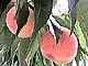 春日居の完熟桃
