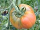 紅光の一番人気の完熟トマト!